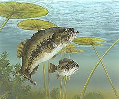 Bass Fishing - The Largemouthed Bass