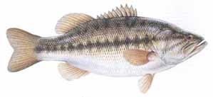 Largemouthed Bass